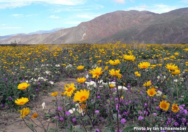 Desert Wildflowers: March, 2005 - Fallbrook, California